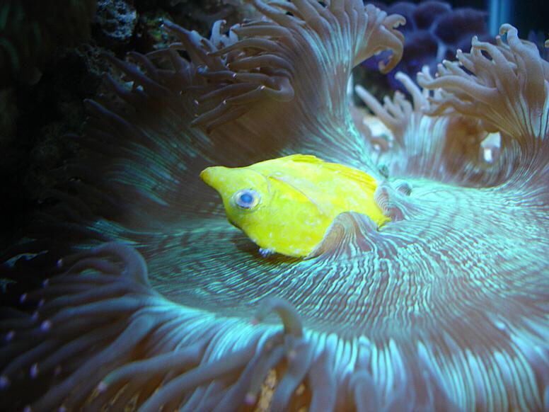 Australian elegance reef central online community for Aquarium elegance